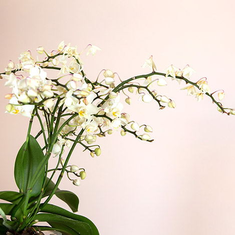 orchidee-multifleurs-et-son-cache-po-5271.jpg