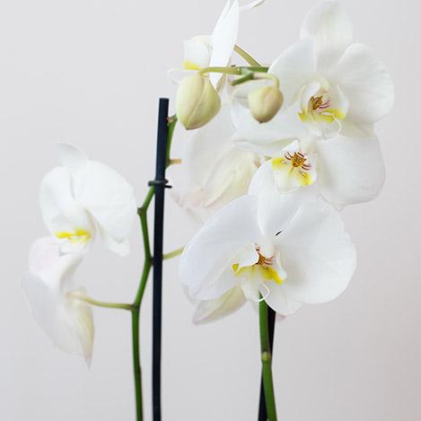 phalaenopsis-nevada-5263.jpg