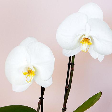 phalaenopsis-singolo-avec-cache-pot-7154.jpg