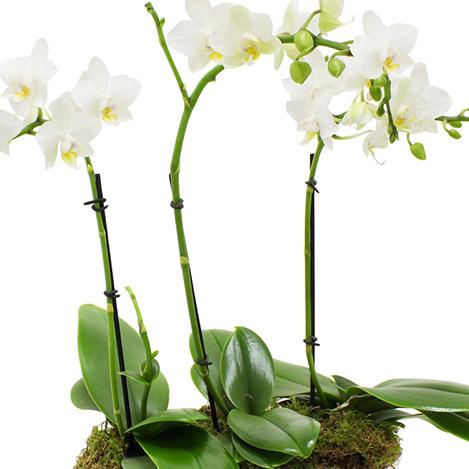 trio-d-orchidees-1946.jpg