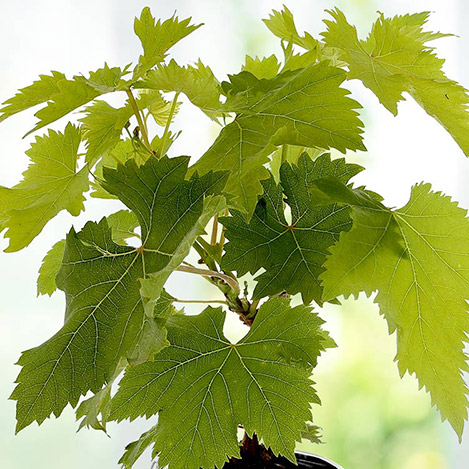 vigne-4865.jpg