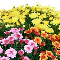 2-chrysanthemes-varies-200-1669.jpg