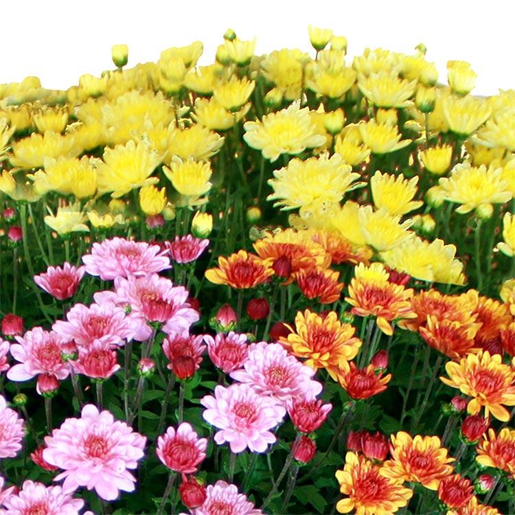 2-chrysanthemes-varies-750-1669.jpg