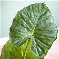 alocasia-calidora-et-son-cache-pot-200-5221.jpg