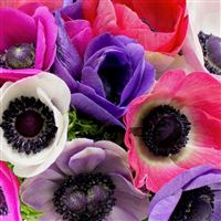 anemones-40-200-1883.jpg