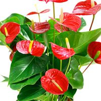 anthurium-rouge-et-son-pot-200-2035.jpg