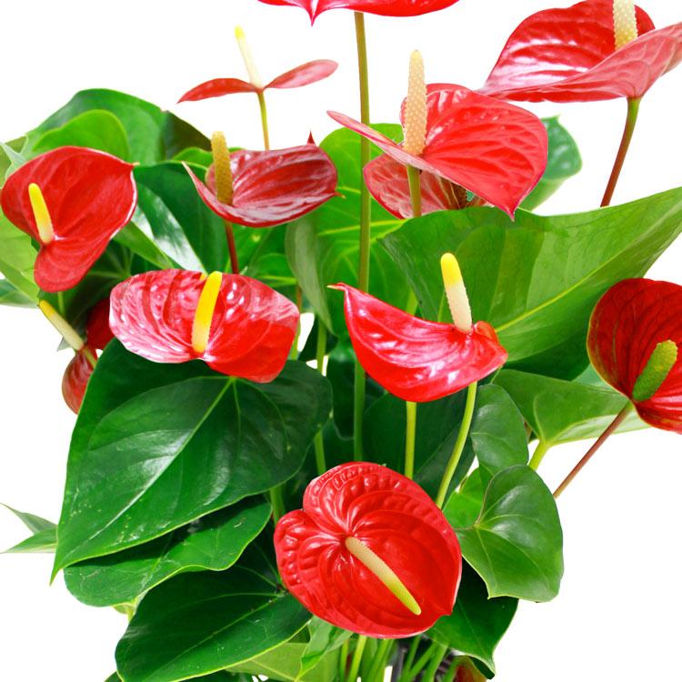 anthurium-rouge-et-son-pot-750-2035.jpg