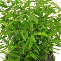 bambou-200-1108.jpg