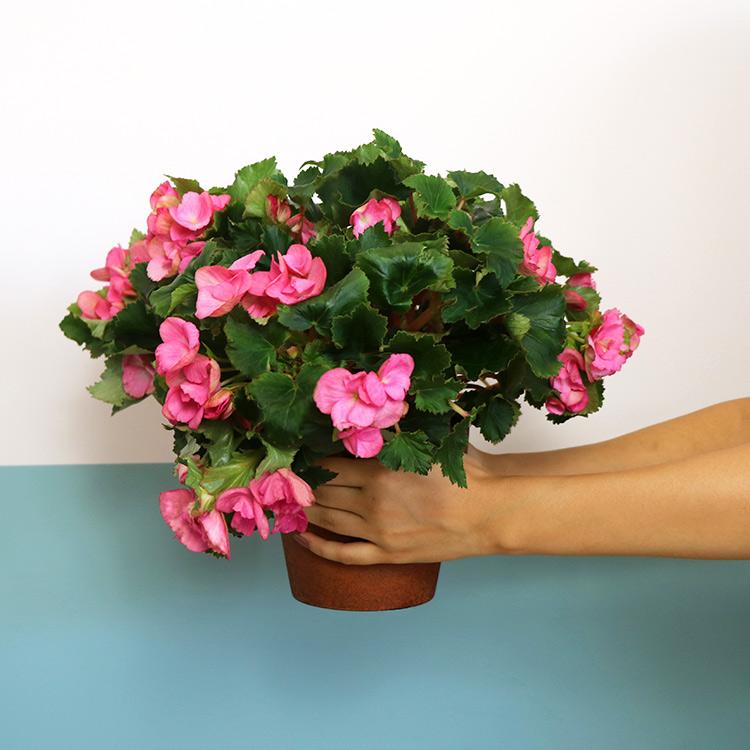 begonia-et-son-cache-pot-200-5384.jpg