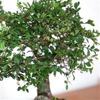 bonsai-200-5232.jpg