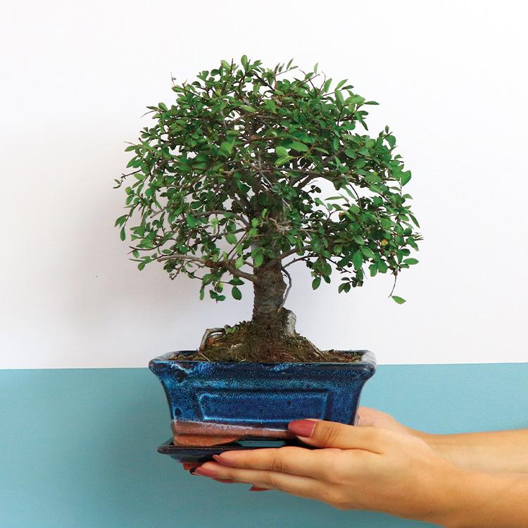 bonsai-750-6567.jpg