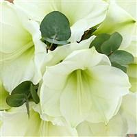 bouquet-d'amaryllis-blanches-et-son--200-3539.jpg