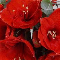 bouquet-d'amaryllis-rouge-et-son-vas-200-3430.jpg