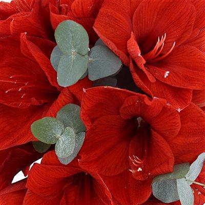 Bouquet d'Amaryllis Rouge et son vase