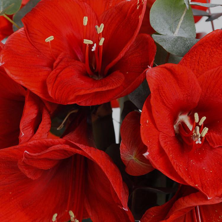 bouquet-d'amaryllis-rouge-xxl-et-son-200-3426.jpg