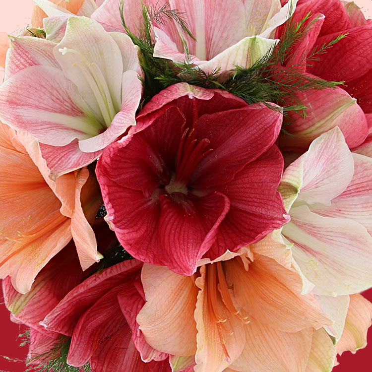 bouquet-d'amaryllis-variees-et-son-v-750-3416.jpg