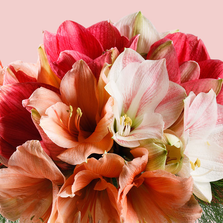 bouquet-d'amaryllis-variees-et-son-v-750-3418.jpg