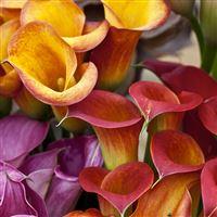 bouquet-de-callas-multicolores-xxl-e-200-4203.jpg