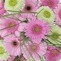 bouquet-de-germinis-roses-xxl-200-4341.jpg