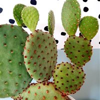 cactus-raquette-200-7201.jpg