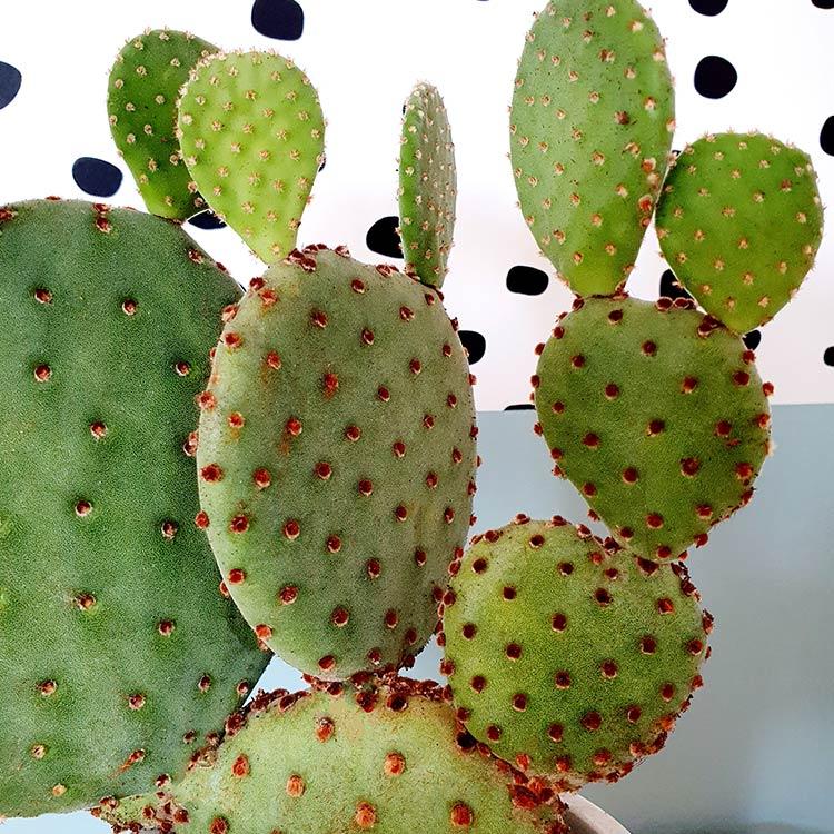 cactus-raquette-750-7201.jpg