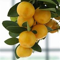 calamondin-et-ses-citronnades-alain--200-4859.jpg