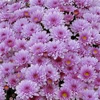 chrysantheme-parme-200-894.jpg