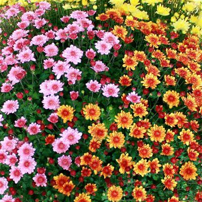 Chrysanthème varié