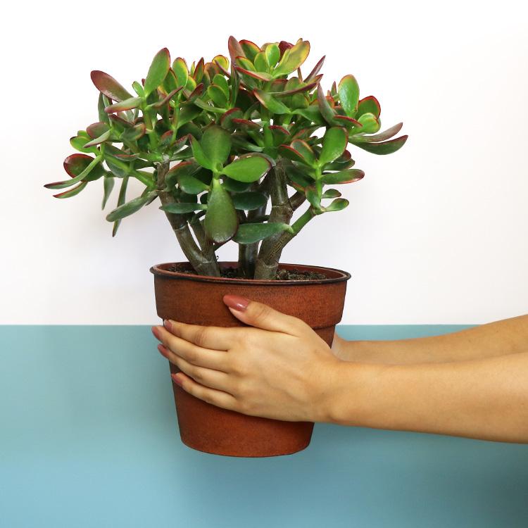 crassula-ovata-avec-cache-pot-750-6972.jpg