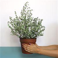 eucalyptus-200-5385.jpg