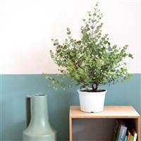 eucalyptus-200-6588.jpg