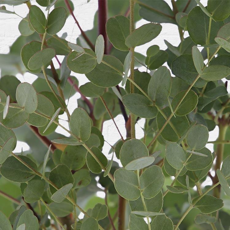 eucalyptus-200-2814.jpg