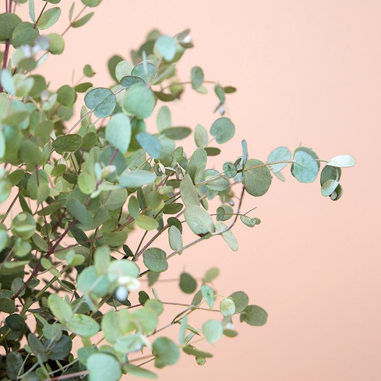 eucalyptus-750-5259.jpg