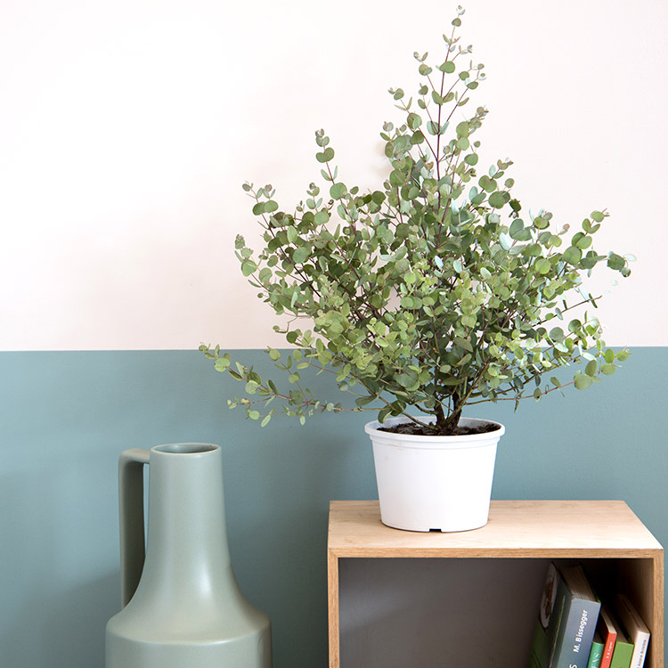 eucalyptus-750-5260.jpg