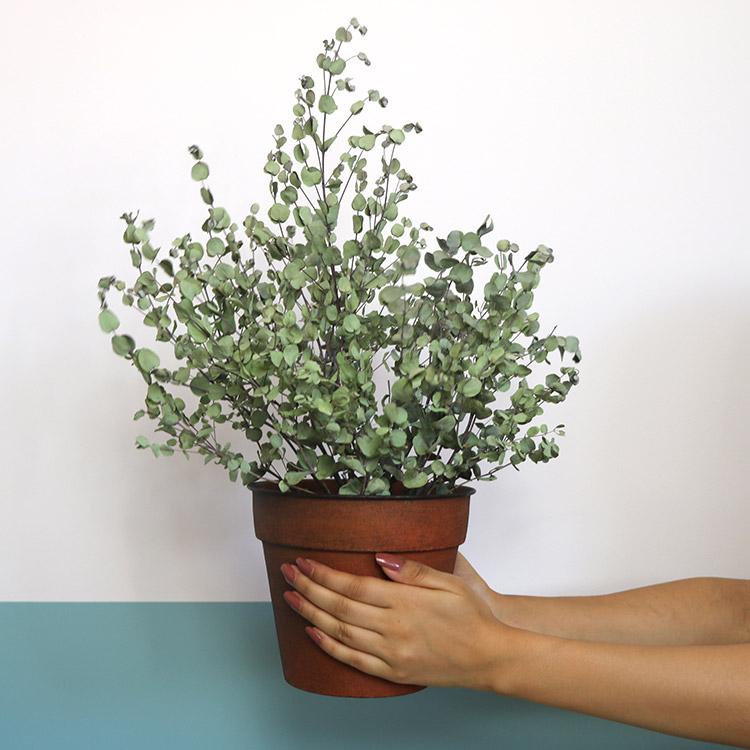 eucalyptus-750-5385.jpg