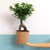 ginseng-et-son-cache-pot-200-5381.jpg