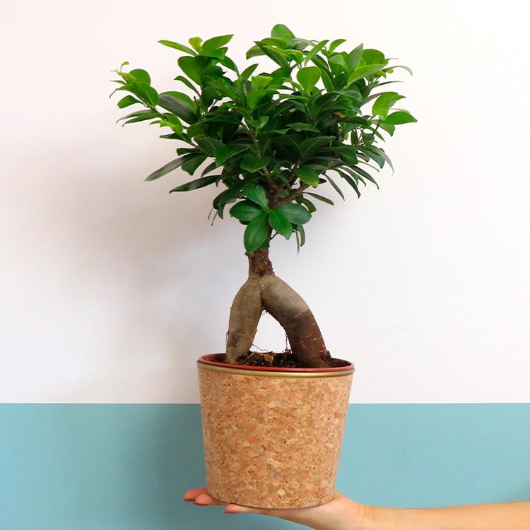 ginseng-et-son-cache-pot-750-6570.jpg