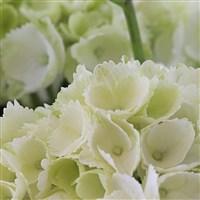 hortensia-200-2850.jpg