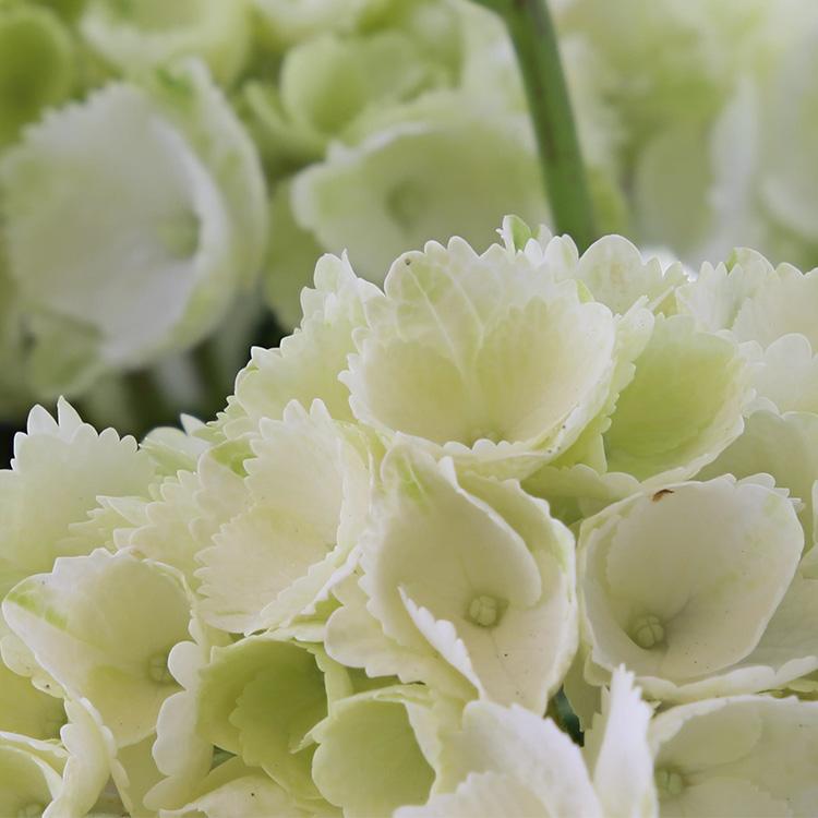hortensia-750-2818.jpg