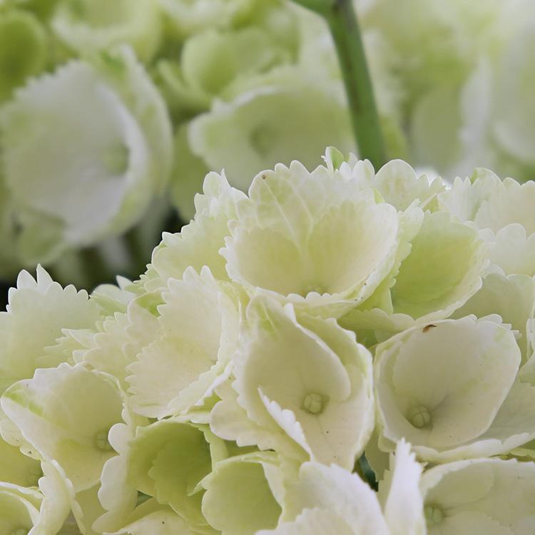 hortensia-750-2850.jpg