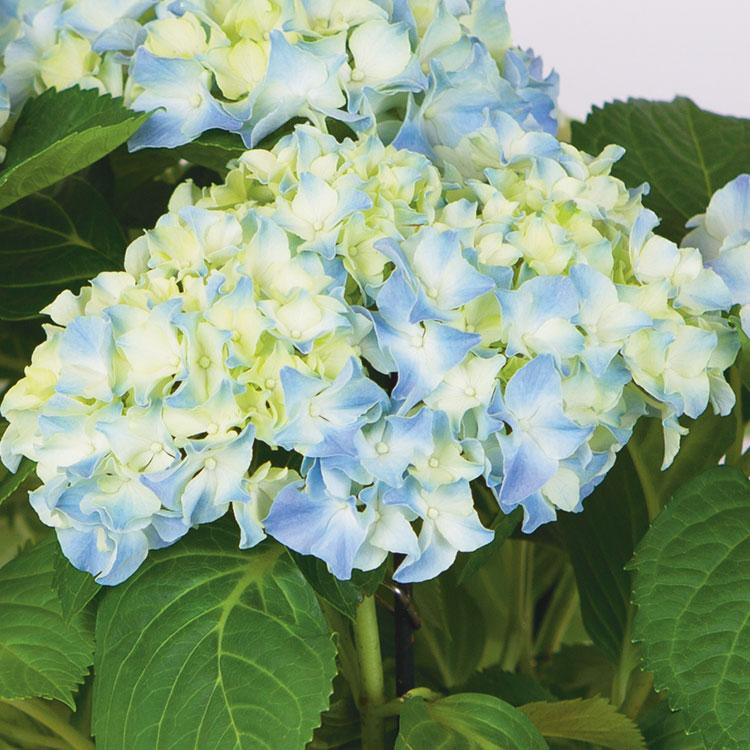 hortensia-avec-cache-pot-750-7054.jpg