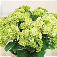 hortensia-et-son-cache-pot-200-6901.jpg