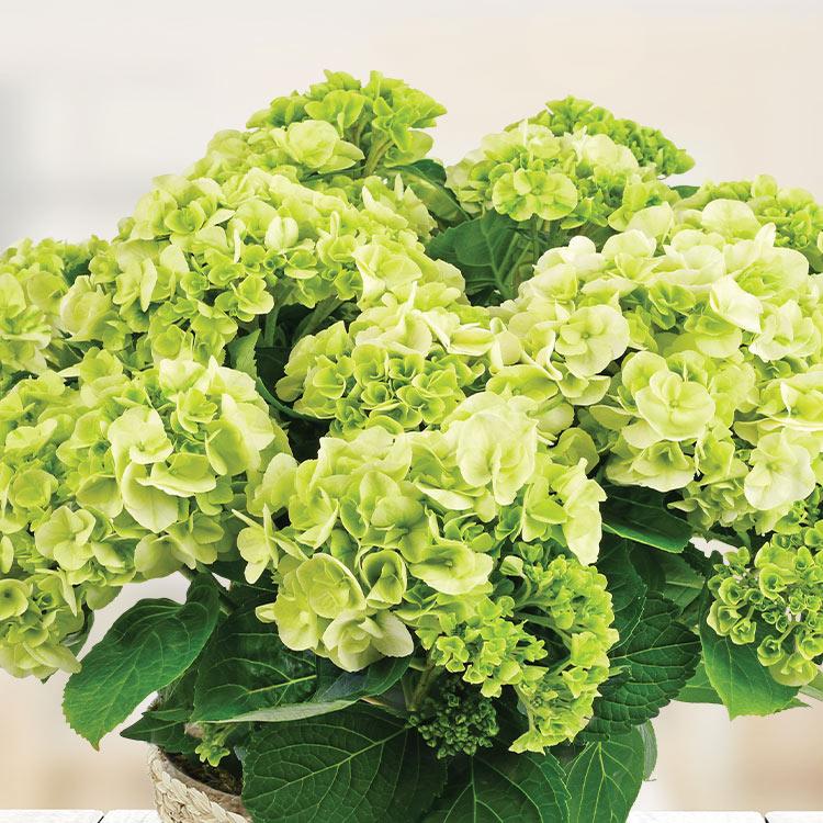 hortensia-et-son-cache-pot-750-6901.jpg