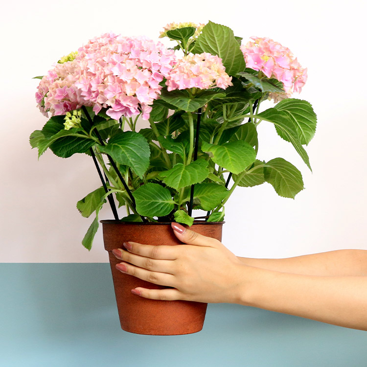 hydrangeas-et-son-cache-pot-200-5375.jpg