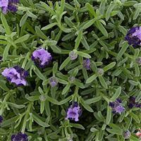 lavande-papillon-200-4750.jpg