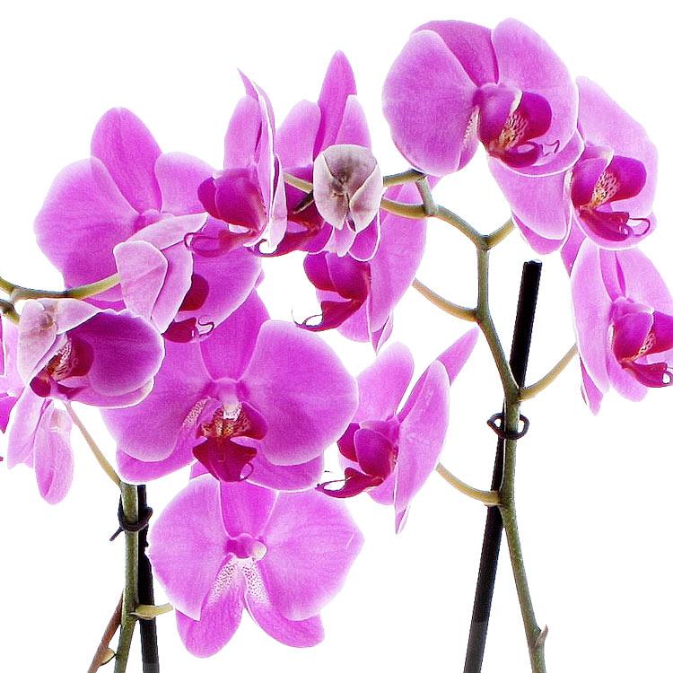 orchidee-de-noel-750-2110.jpg
