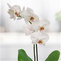 orchidee-et-ses-amandes-caramelisees-200-3615.jpg