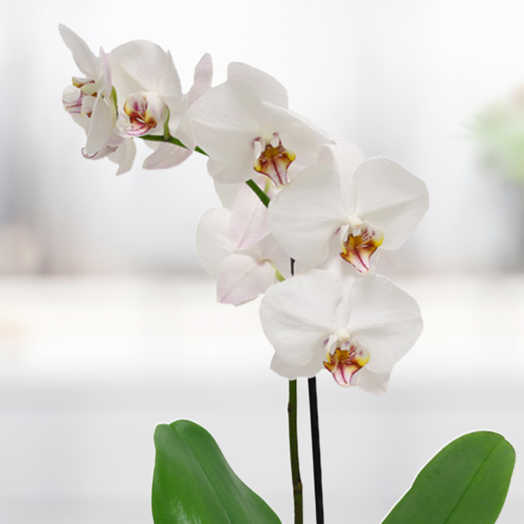 orchidee-et-ses-amandes-caramelisees-750-3615.jpg