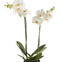 orchidee-et-ses-chocolats-200-2017.jpg