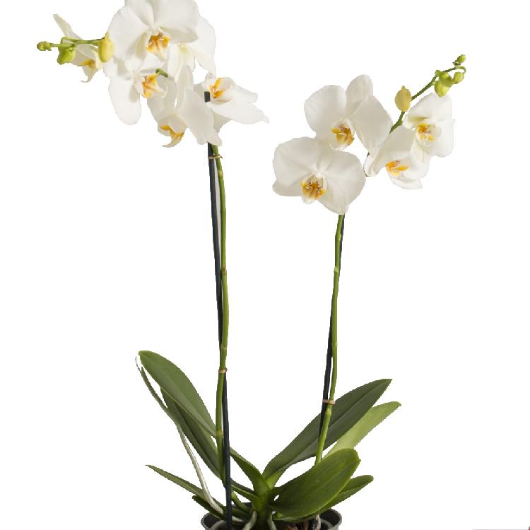 orchidee-et-ses-chocolats-750-2017.jpg
